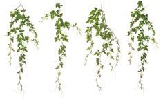 Zbierający Cayratia Japonica odizolowywający na białym tle fotografia stock