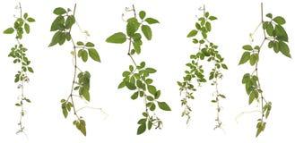 Zbierający Cayratia Japonica odizolowywający na białym tle zdjęcia stock