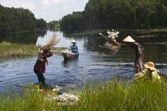 Zbierający kwiat wodnej lelui w zachodzie w Kien Tuong, Tęsk, Wietnam Obrazy Royalty Free
