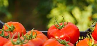 Zbierający pomidor w skrzynce obrazy stock