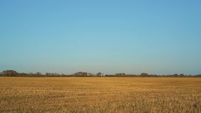 Zbierający pszeniczny pole pod niebieskim niebem zbiory wideo