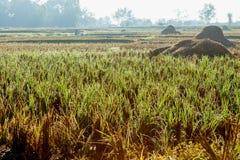 Zbierający ricefield fotografia royalty free