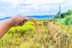 Zbierający ryż Zdjęcia Royalty Free