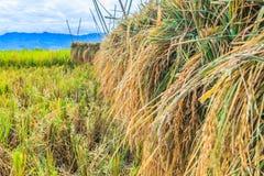 Zbierający ryż Zdjęcia Stock