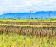 Zbierający ryż Fotografia Royalty Free