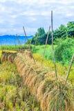 Zbierający ryż Fotografia Stock