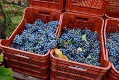 Zbierający win winogrona w skrzynkach obrazy royalty free