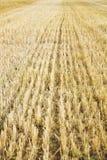 Zbierający pszeniczny pole obrazy stock