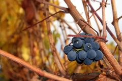 zbierający winogrona Zdjęcie Stock