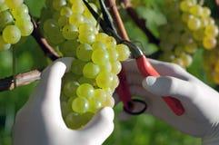 zbierający świeży winogrono Zdjęcie Stock