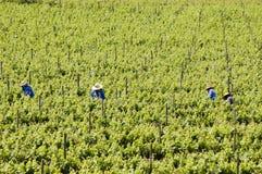 zbieranie winogron. zdjęcie royalty free