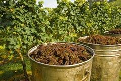 zbiorniki winogron Obraz Royalty Free