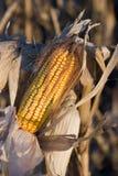 zbiory kukurydziany gotowy Zdjęcia Royalty Free