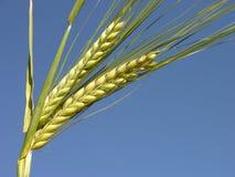 zbiory kukurydziany gotowy Zdjęcie Stock