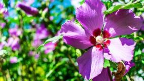 Zbliża wewnątrz na różowym czerwonym kwiacie
