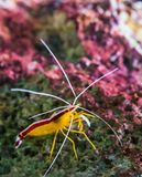 Zbliżenie atlantycki czysty krewetkowy obsiadanie na skale, kolorowa krewetka od atlantyckiego oceanu fotografia stock
