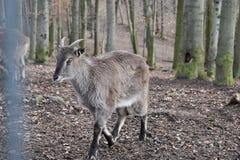 Zbliżenie billy kózka w lesie w Niemcy fotografia royalty free