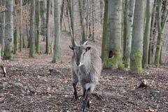 Zbliżenie billy kózka w lesie w Niemcy obrazy royalty free