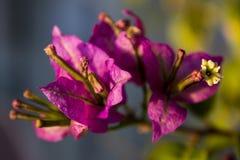 Zbliżenie na fucsia bouganvillea kwiacie z zmierzchu światłem fotografia stock