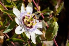 Zbliżenie Passionfruit - Gigantyczna passiflora obraz royalty free