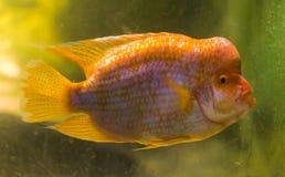 Zbliżenie portret midas cichlid, popularna tropikalna ryba od San Jaun rzeki w Costa Rica obraz royalty free