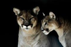 Zbliżenie portret zmonopolizowany kuguar także znać jako puma w zoo w Południowa Afryka obrazy royalty free