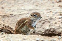 Zbliżenie przylądka zmielona wiewiórka, Xerus inauris zdjęcia stock