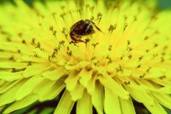 zbliżenie pszczoła zapyla na dandelion kwiacie w kontekście niebieskie chmury odpowiadają trawy zielone niebo białe wispy natury obraz stock