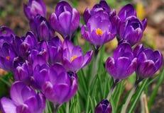 Zbliżenie wizerunek purpury i krokusów kwiaty obrazy royalty free