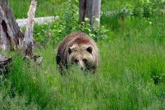 zbliża się grizzly Fotografia Royalty Free