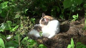Zbliża wewnątrz tabby kota oblizanie w cieniu jeżynowy krzak zbiory