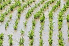 Zbliżający ryżu pole Zdjęcia Stock