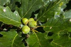 Zbliżeń acorns fotografia royalty free