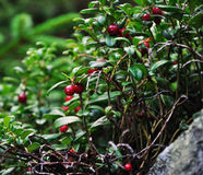 zbliżeń cranberries Obraz Stock