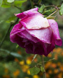 Zbliżeń raindrops na róży Zdjęcie Stock