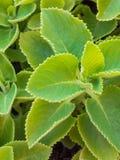 Zbliżenia świeży zielony ziele dzwonił Indianina borage (Plectranthus ambo zdjęcia stock