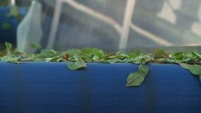 Zbliżenia Arugula liście Odtransportowywający Błękitnym konwejeru paskiem zbiory