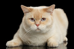 Zbliżenia błękit przyglądał się Brytyjski Shorthair kota lying on the beach, Odosobniony Czarny tło Fotografia Stock