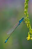 zbliżenia błękitny dragonfly Obrazy Stock