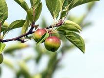 zbliżenia crabapple szczegółu drzewo obraz royalty free