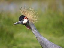Zbliżenia czerni Koronowany żuraw zdjęcie royalty free