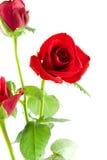 zbliżenia czerwieni róże obrazy stock