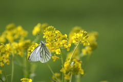 zbliżenia dandelions natury wiosna Ukraine obrazy stock