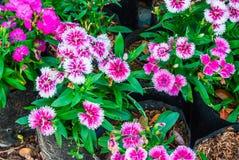 Zbliżenia Dianthus Chaina Pink/indianina menchii Chinensis/tło zdjęcia stock