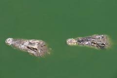 Zbliżenia dwa rozdziały krokodyl obrazy stock
