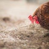 zbliżenia farmyard karmazynka obrazy royalty free