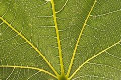 zbliżenia figi liść Zdjęcia Stock