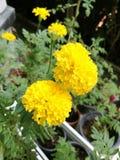 zbliżenia głębii pola kwiatów nagietka płycizna Fotografia Stock