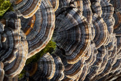 zbliżenia grzybowy mushroooms polyporus półki drzewo Obrazy Stock
