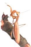 zbliżenia insektów modliszka Zdjęcia Royalty Free